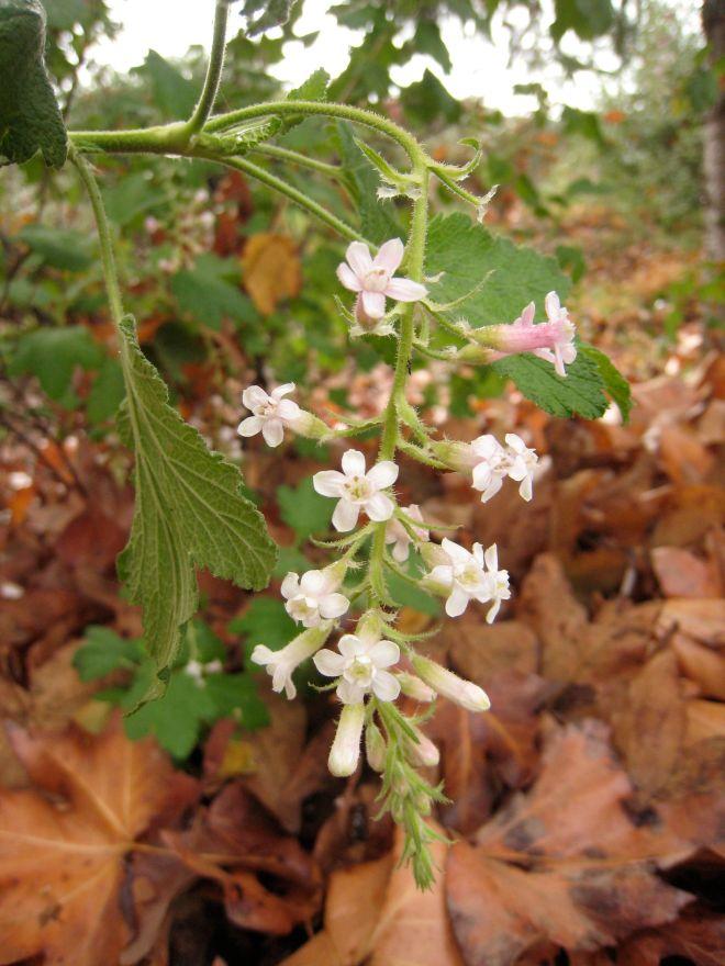 Ribes malvaceum 'Dancing Tassles'