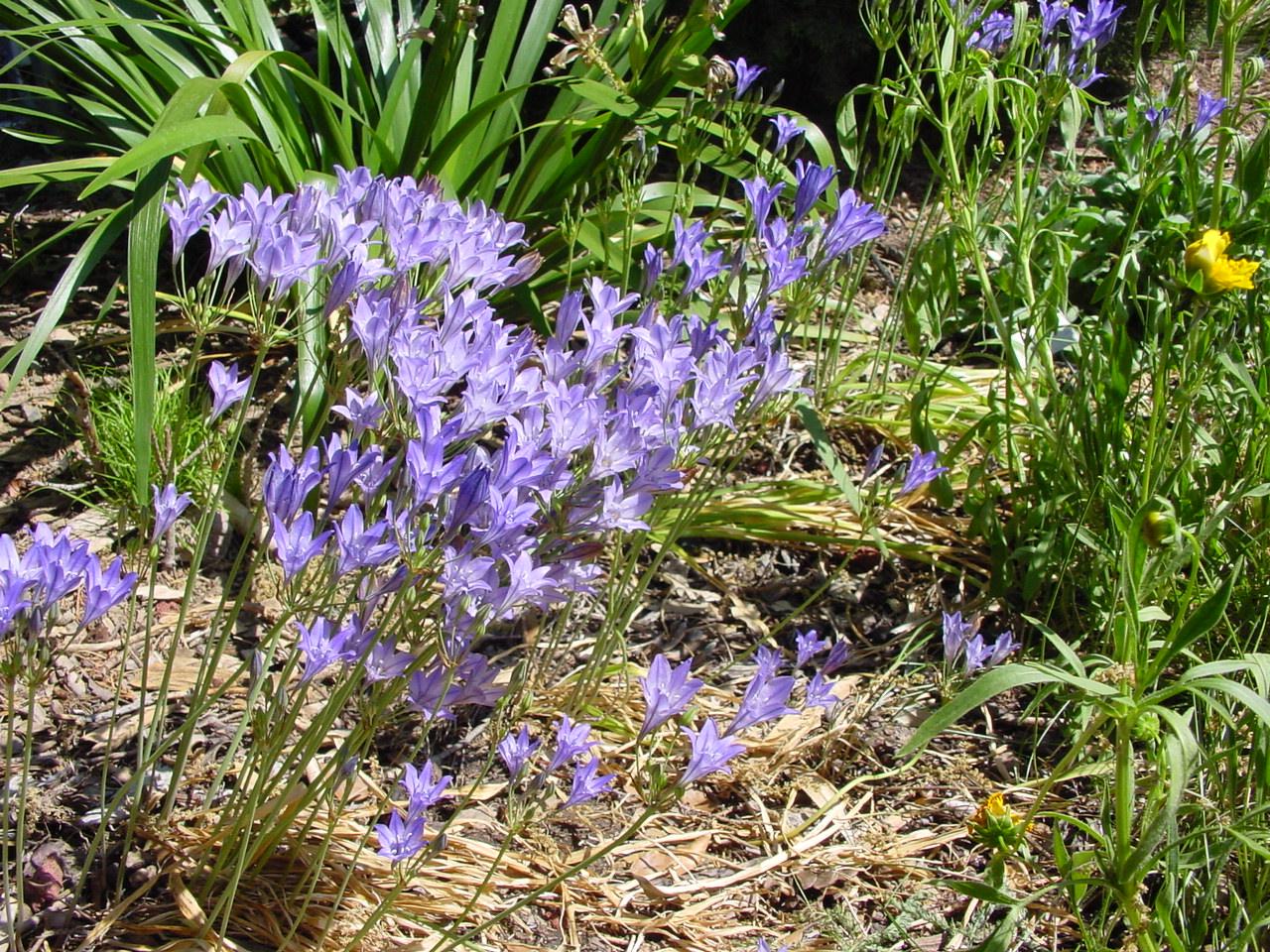 seasonal color with california bulbs u2013 california native plant