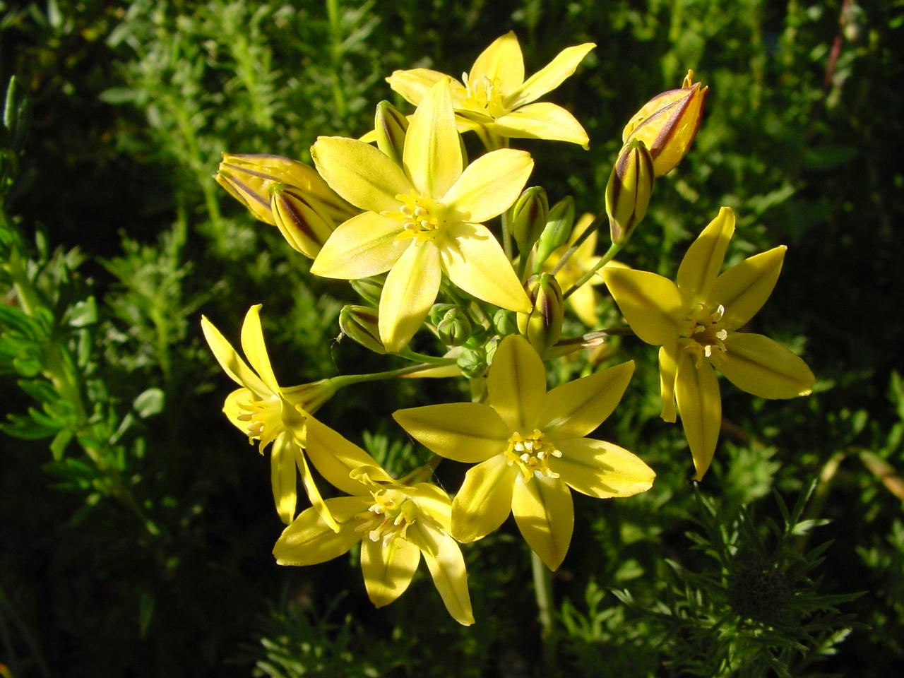 Seasonal color with california bulbs california native plant triteleia ixioides izmirmasajfo