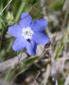 Baby blue eyes (Nemophila menziesii), Photo: Laura Camp