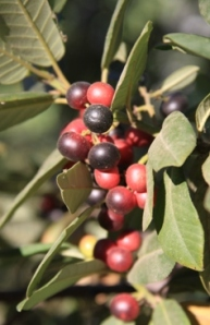 California Coffeeberry (Rhamnus californica or Frangula californica)