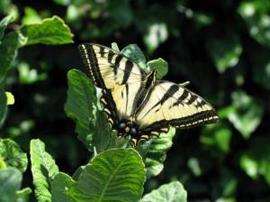 Western Tiger Swallowtail Butterfly on Erigonum Giganteum