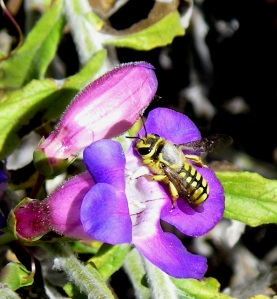 Anthidium illustre on Penstemon spectabilis