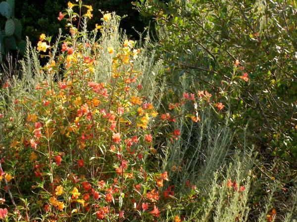 Artemisia In The Garden California Native Plant Society