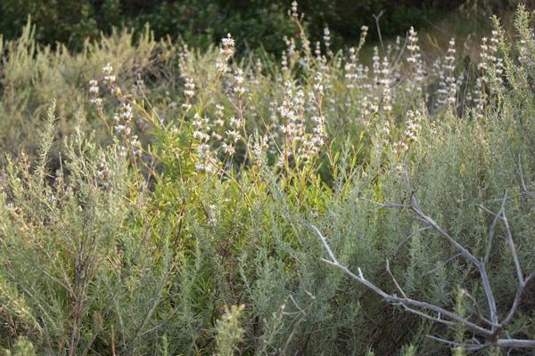 Artemisia Californica Artemisia in the Garde...
