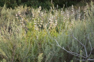Artemisia californica with Black Sage (Salvia mellifera)