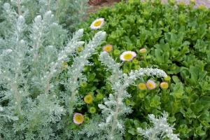 Artemisia pycnocephela with Erigeron glaucus 'Bountiful'