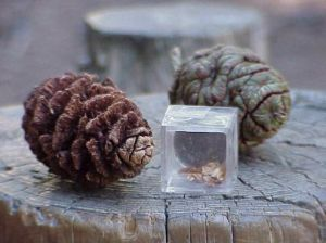 Sequoia cones and seeds
