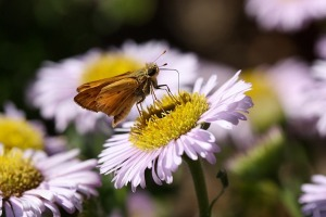 Erigeron glaucus - Seaside Daisy and Skipper Butterfly