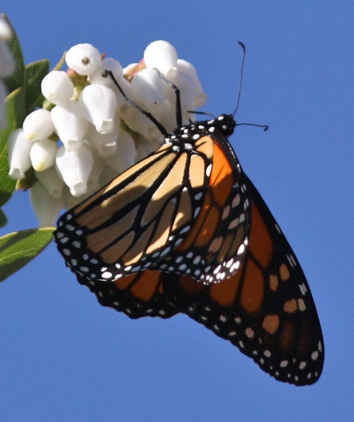 Monarch butterfly on Arctostaphylos refugioensis