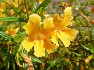 Mimulus aurantiacus (Monkeyflower)