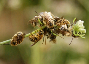 long-horned bees