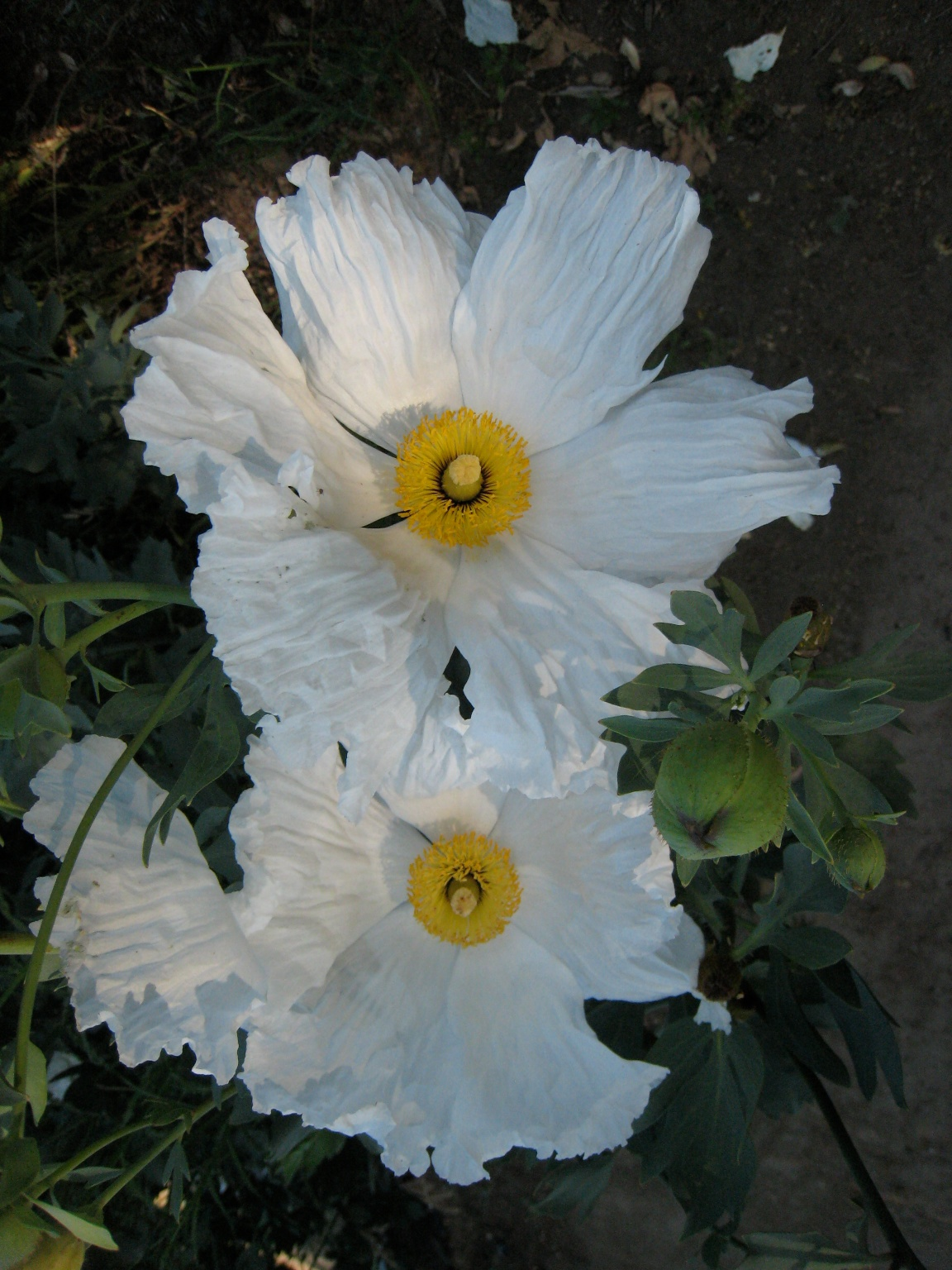 Matilija poppy queen of california flowers california native image romneya white cloud matilija poppy mightylinksfo