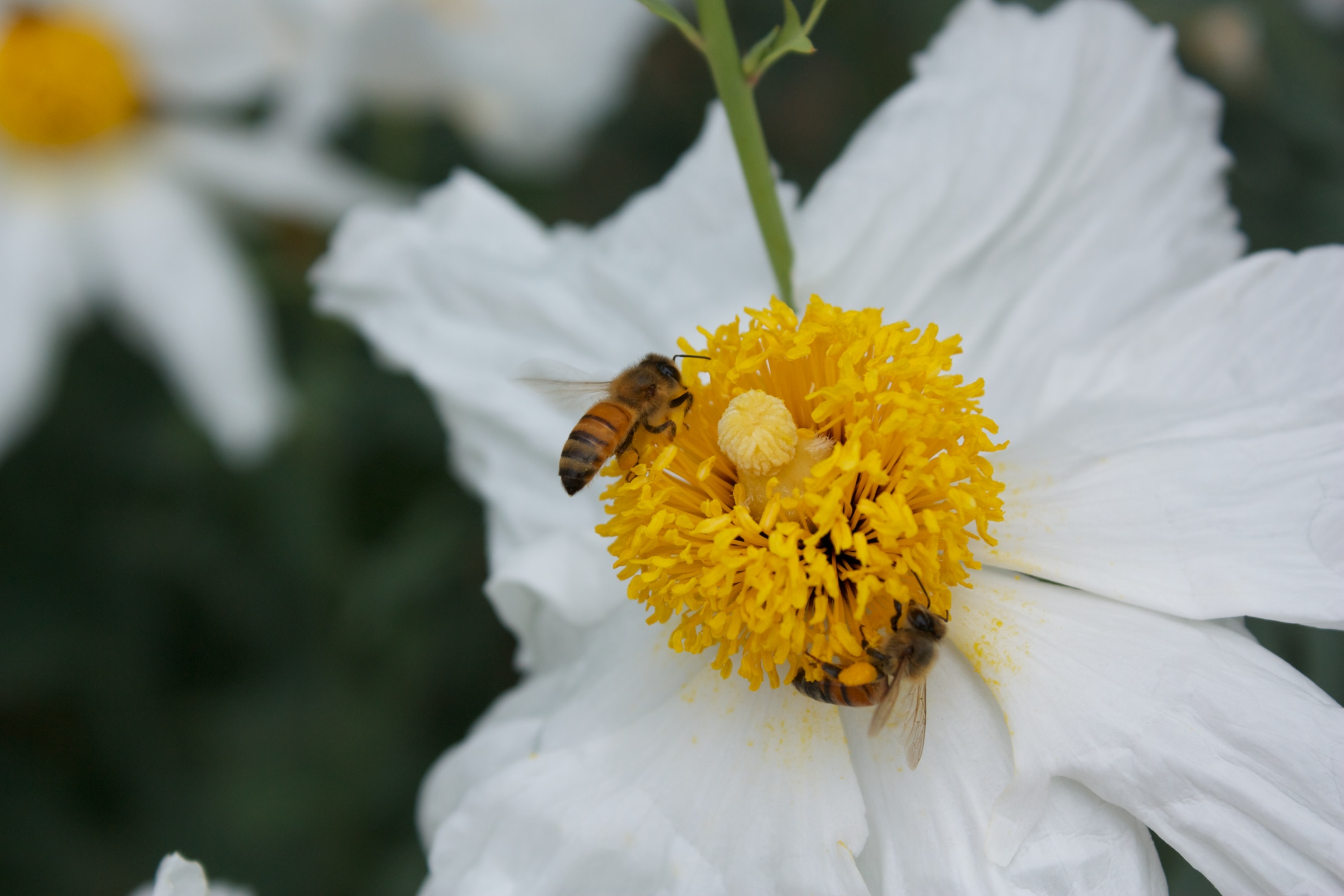 how to grow matilija poppy from seed