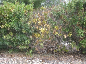 Dying oleander
