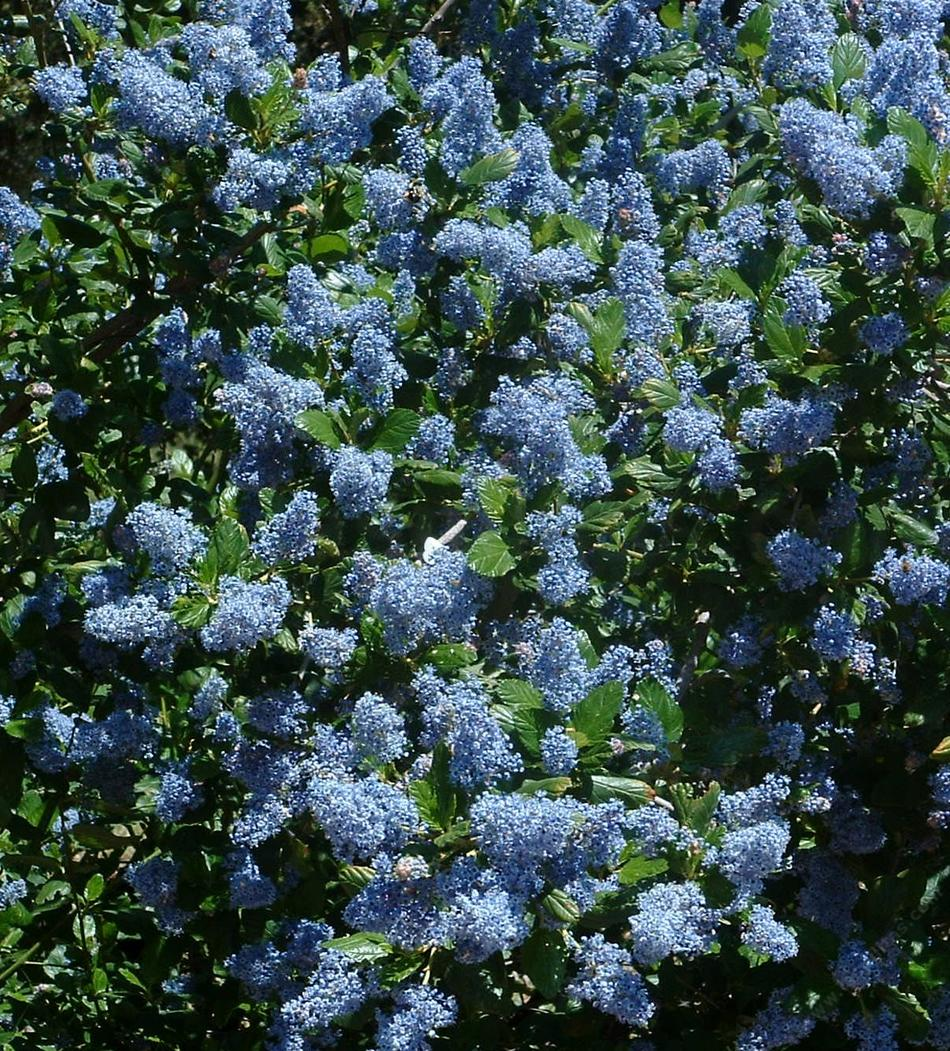 different bees for different ceanothus in the bay area