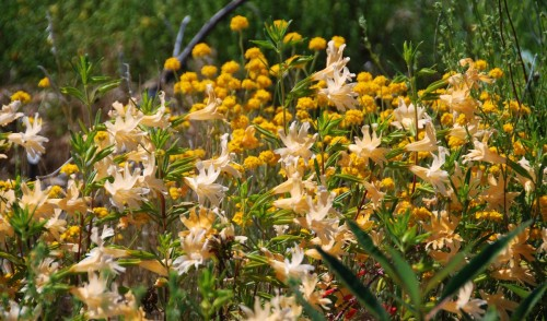 Golden Yarrow and Mimulus bifidus