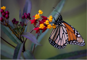 Monarch on Mexican milkweed, photo courtesy Stephen Morton for The New York Times