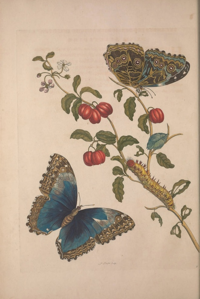 one of Maria's illustrations, courtesy of the Biodiversity Heritage Library site