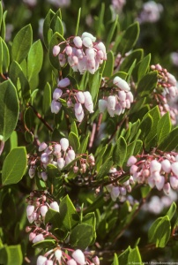 Arctostaphylos densiflora 'Howard McMinn' (Manzanita) flower blossoms. Photo by Saxon Holt.