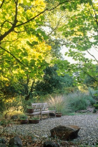 Summer-dry, drought tolerant, naturalistic, Mediterranean garden with California native Acer circinatum (Vine Maple). Photo by Saxon Holt.