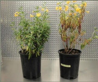 Comparison of healthy and unhealthy sticky monkeyflower, courtesy of Suzanne Rooney-Latham, CDFA.