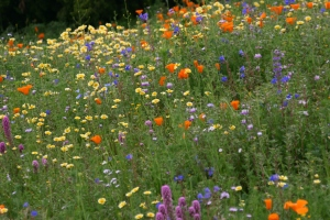 A small portion of a 1.5 acre wildflower meadow created by the author in Fallbrook in 2011. Flowers include Tidy Tips, California poppies, Desert bluebells, Owl's clover, and Chinese houses. Photo by Greg Rubin.