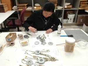 Student Assistant, Tina Ku, mounts pressed plant samples onto archival paper creating herbarium specimens. Photo courtesy of UC Davis News Service.