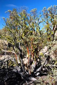 Sierra Juarez Manzanita (Arctostaphylos peninsularis subsp. juarezensis) by Jeff Bisbee