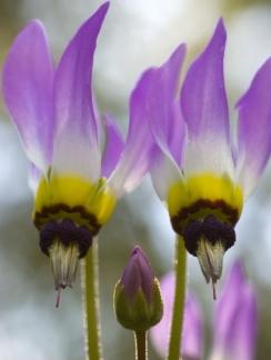 dylan-neubauer-dodecatheon-clevelandii-ssp-insulare