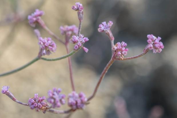 Mount Diablo Buckwheat