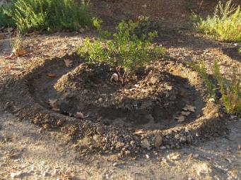 Manzanita water ring - camp