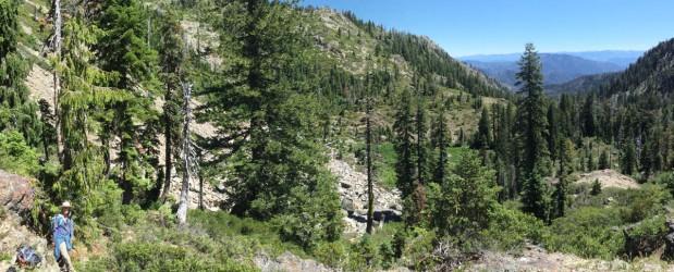 California's Rarest Conifer?