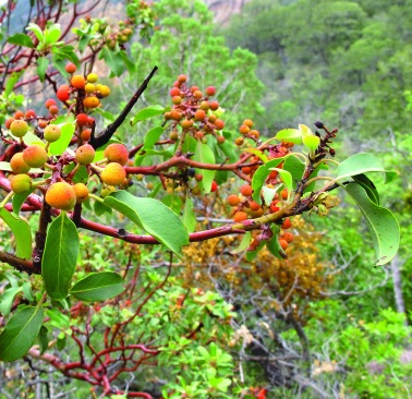 Madrone_Berries wikipedia
